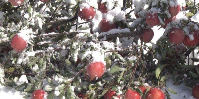 Tojikistonning ayrim mintaqalarida tonnalab hosil qor ostida qoldi